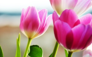 tulips_spring_2-wide